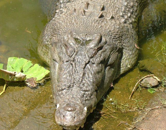Crocodiles Exist